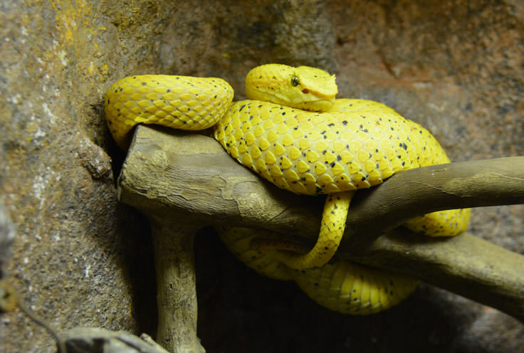 A snake at the Cape Fear Serpentarium in Wilmington, NC